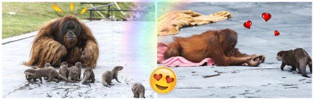 Vänskap mellan familjer: i belgisk zooet orangutanger blev vänner med uttrar